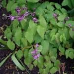 epimedium-grandiflorum-lilafee-plant-and-flowers-400x300