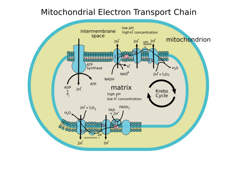 Mitochondria In Health And Aging And Possibilities For Life