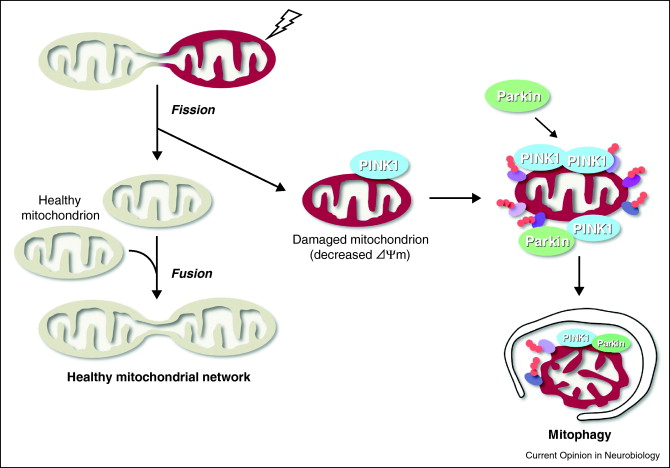 division and fusion in mitochondria essay A novel cell-free mitochondrial fusion assay amenable for high-throughput screenings of fusion modulators fusion between mitochondria.