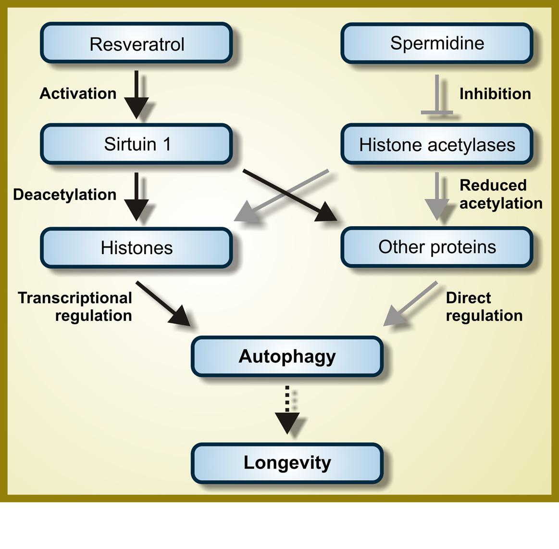 resveratrolspermidineautophagy