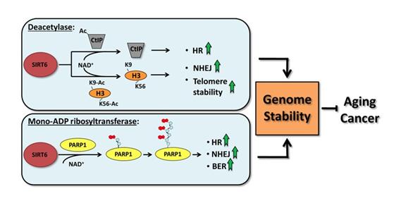 genomestability