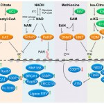 Metabolic modulation of chromatin: implications for DNA repair a