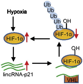Hypoxiapq1
