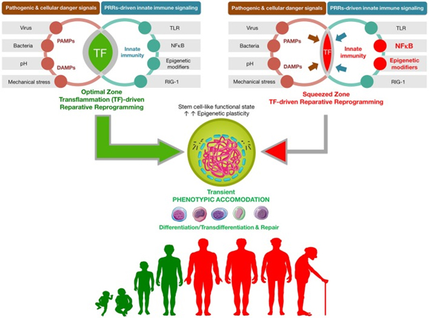 AGING, CELL AND TISSUE REPAIR, RENEWAL AND REGENERATION