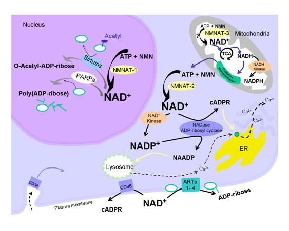 NAD+5