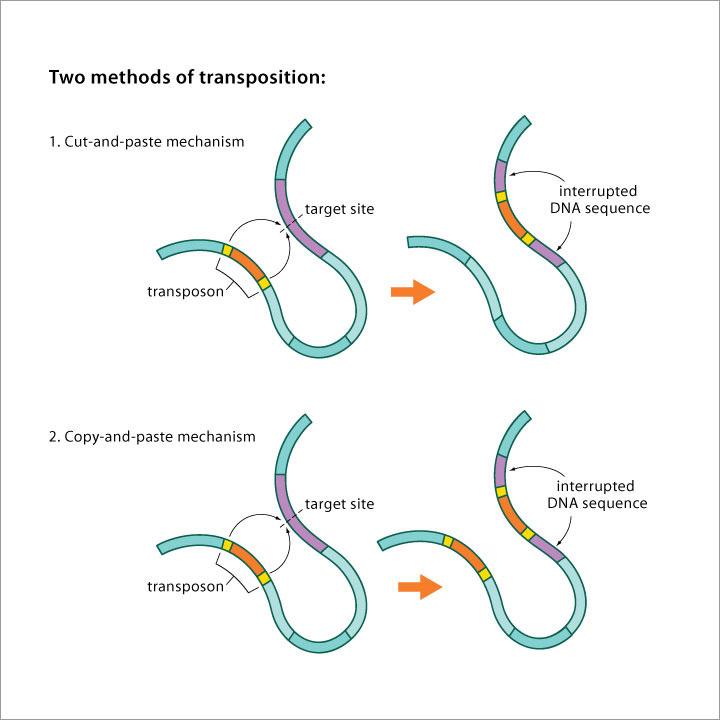 dna transposons ile ilgili görsel sonucu